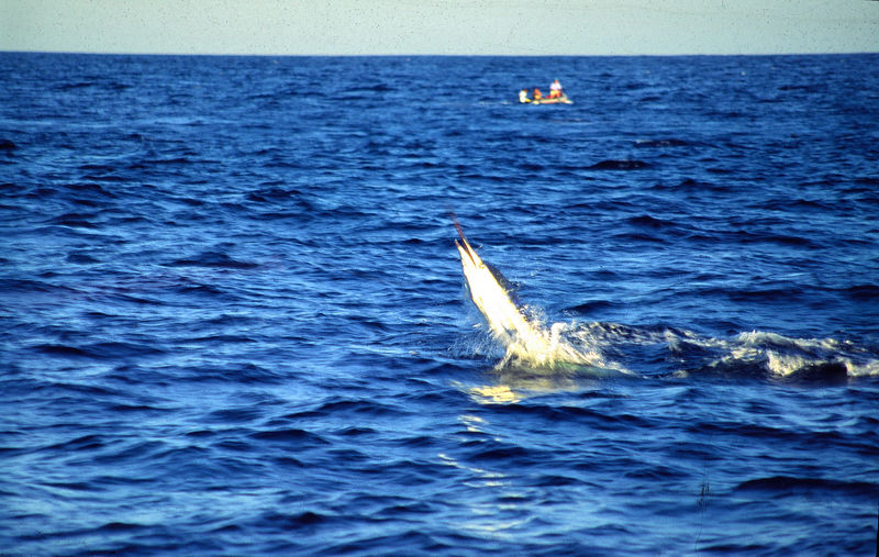 Leaping Marlin with Boat, Long Range Fly Fishing Mexico, Blue Water Fly Fishing