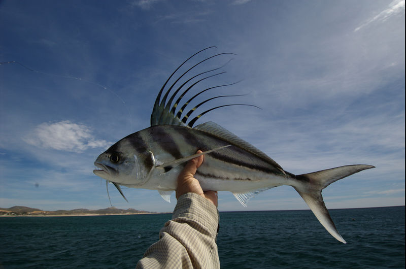 Roosterfish, Cabo, Blue Water Fly Fishing