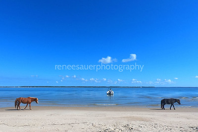 shackleford banks with wild horses walking by....carteret county, nc
