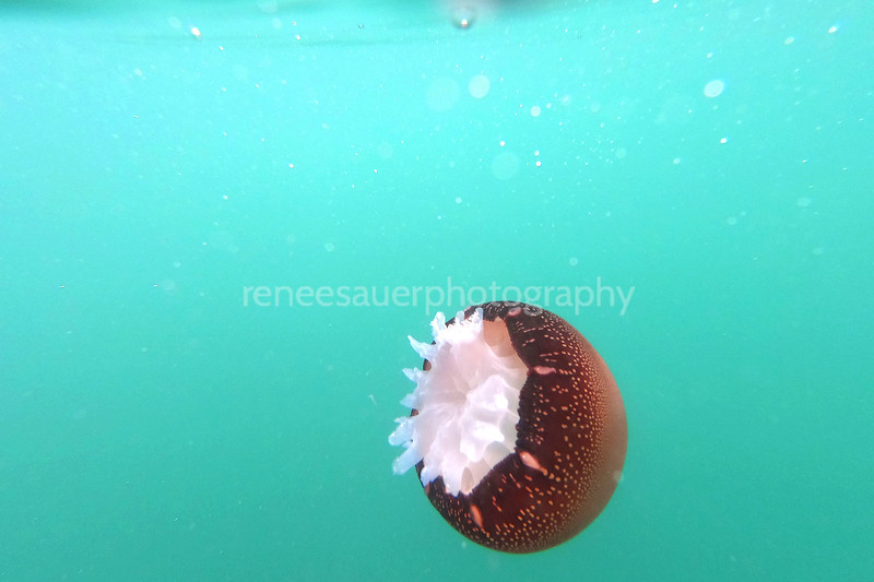 cabbage head aka cannonball jellyfish in the crystal clear atlantic ocean in wb