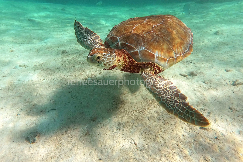 sea turtle in little farmer's cay in the bahamas. a highlight in my life to swim with this guy!
