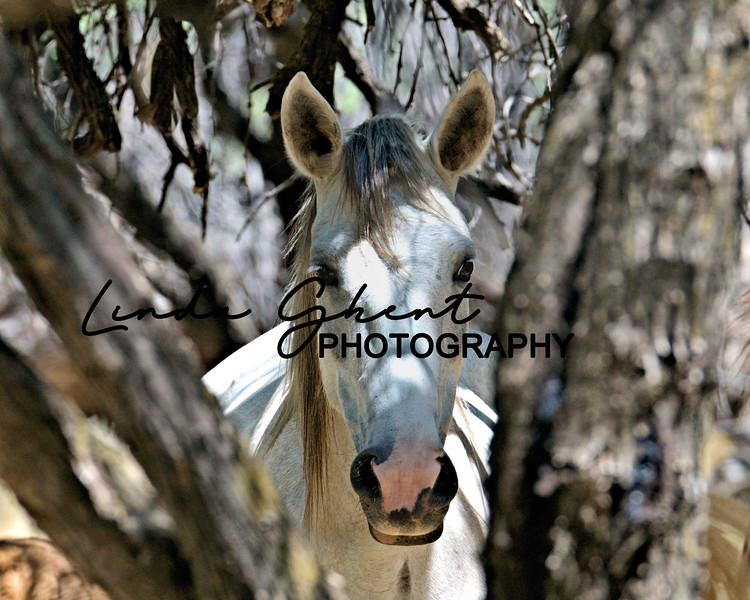 Salt River stallion in the mesquite