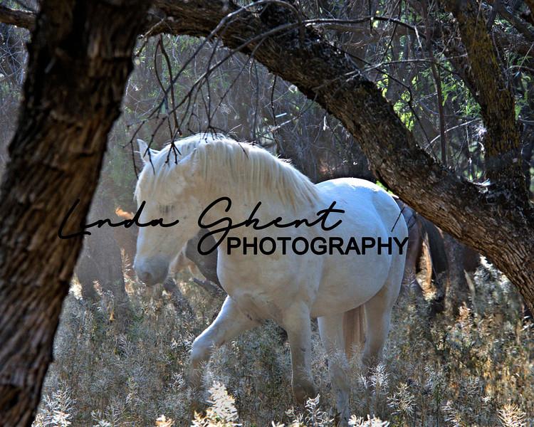 Salt River Wild Stallion