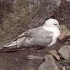 Fulmar having a sleep
