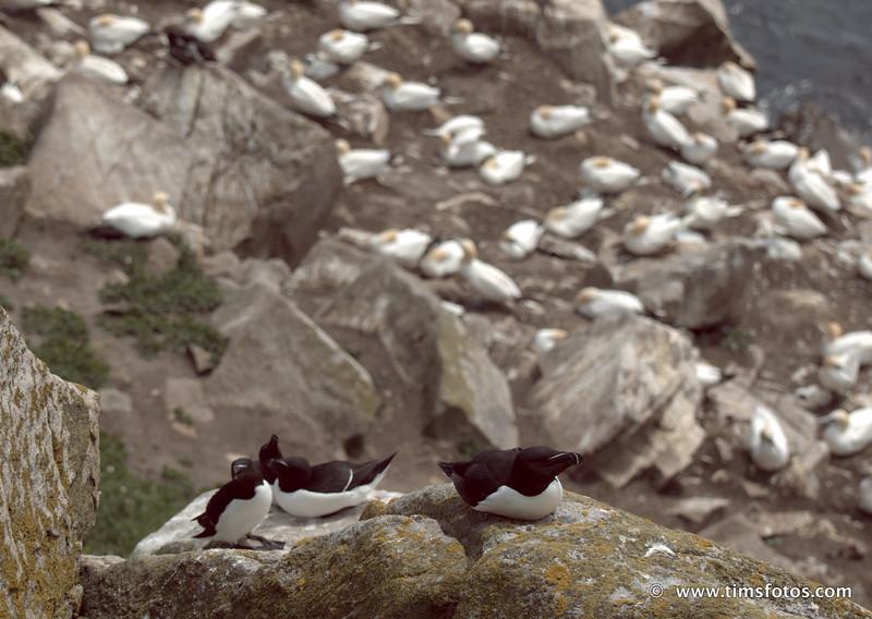 Razorbills in the foreground, gannets in the background.