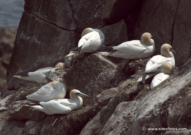 Adult Gannets catching 40 winks