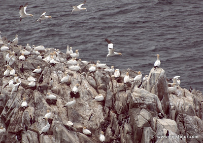 Incoming Gannets.