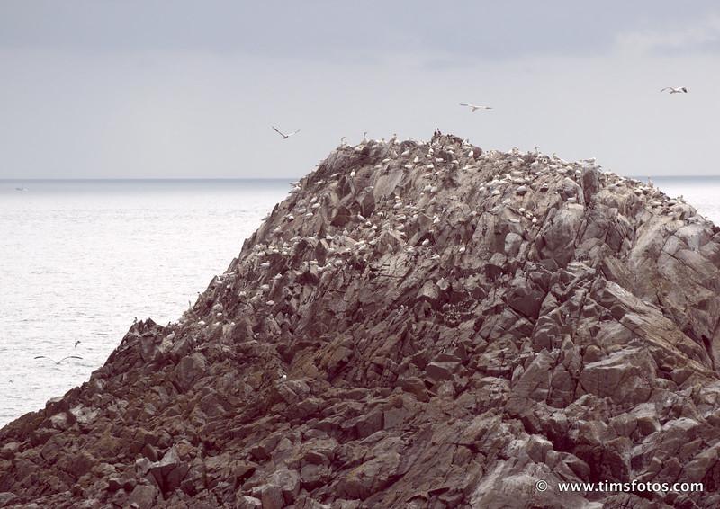 Gannets on top, Guillemots and Razorbills below.