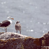 Greater Black Backed Gull and chicks