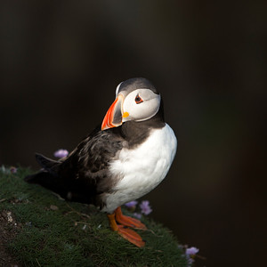 Puffin-2-IMG_4692
