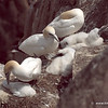 Gannets and chicks