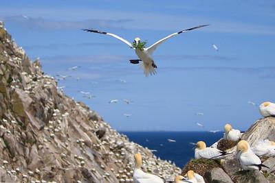 Gannets-4-IMG_1337