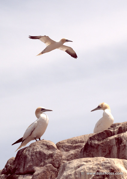 2+1 Gannets