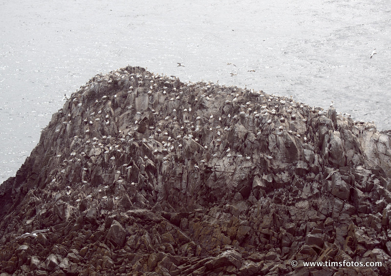 The Rock pile - Gannets on top, Guillemots and razorbills below.