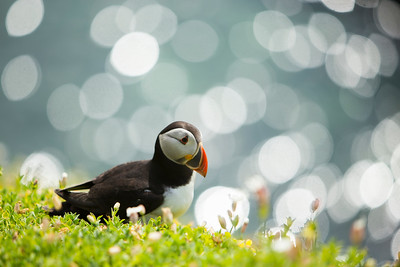 Puffin-4-IMG_7045