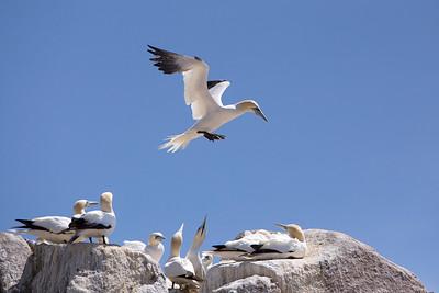 Gannets-6-IMG_8613