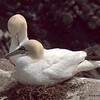 Gannet pair