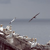 Juvenile Gannet - darker than the Adults
