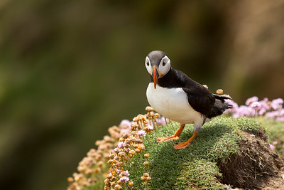 Puffin-3-IMG_7032