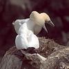 Gannets necking