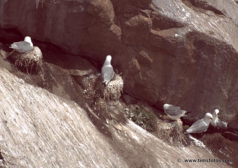 Kittiwake nesting under rock ledge