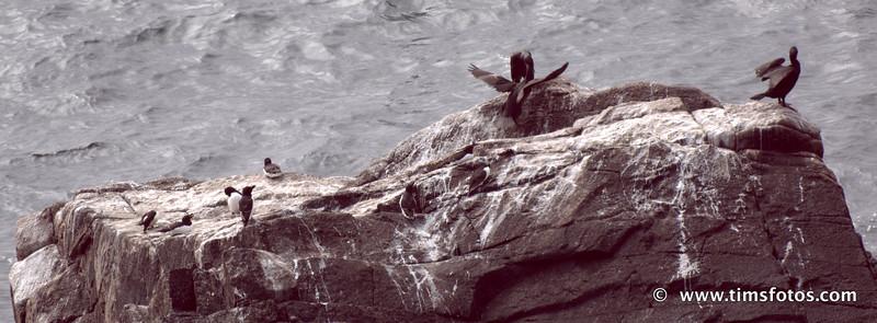 Razorbills and Cormorants