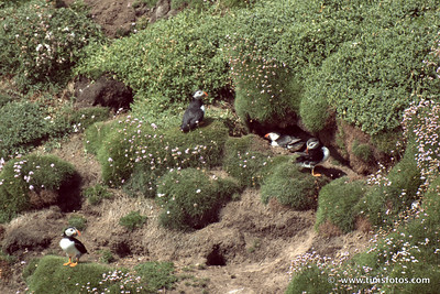 Puffins, who nest in burrows.