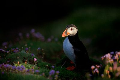 Puffin-5-IMG_4649