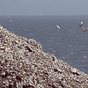 Cliff face teeming with Gannets