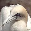 Gannet - head shot shows lovely colouring and blue eye shadow!