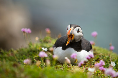 Puffin-9-IMG_7098