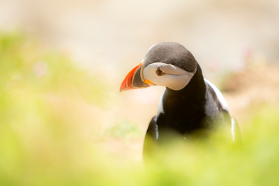 Puffin-1-IMG_4375