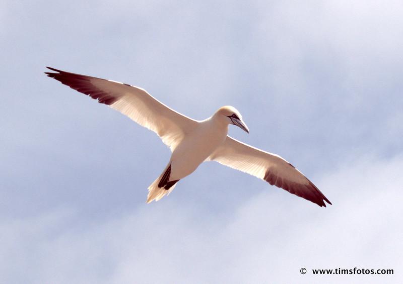 Gannet soaring.