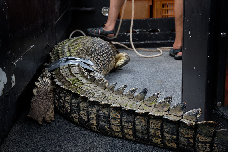 The captured crocodile being removed