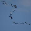 Salton Sea Whitefaced Ibis