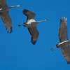 Sand-hill Cranes taking flight at the Sony Bono National Wildlife Preserve Unit 1 at the Southern Tip of the Salton Sea
