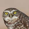 My Friendly Burrowing Owl. Now would You Like to Borrow with Him? , Burrowing Owl