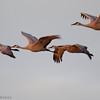 Salton Sea - Sand-hill Cranes in flight Salton Sea