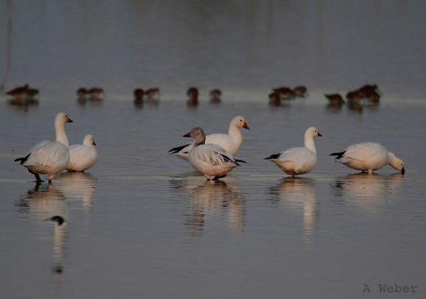 Sunrise at Salton Sea - geese on the pond Salton Sea