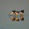 Salton Sea Salton Sea American Avocet
