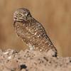 Salton Sea , Burrowing Owl