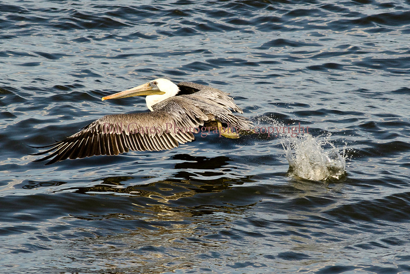 Brown Pelican Take Off