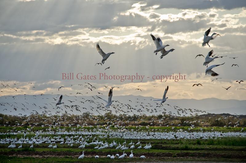 Geese Flight
