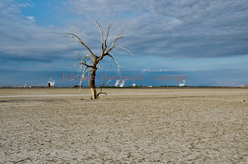 Lonely Tree - Salton Sea