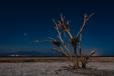 Dead Tree At The Salton Sea