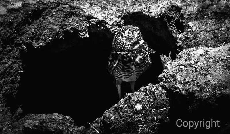 Salton Sea Burrowing Owl