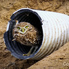 Salton Sea Burrowing Owl