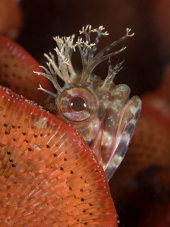 A yellowfin fringehead (Neoclinus stephensae) peeks from behind a red curtain of red-rust bryozoan (Watersipora subtorquata).  2018. Monterey, CA, USA