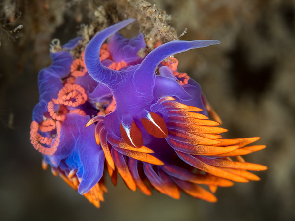 A Spanish shawl (Flabellinopsis iodinea) hangs upside down as it lays a rope of pink eggs on the underside of reef.   2017. Channel Islands, CA, USA