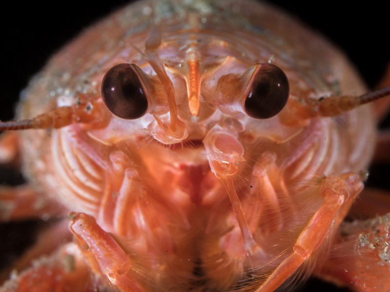 A face-to-face view of a pelagic red crab (Pleuroncodes planipes), a southern species that swarmed northward to the Monterey Bay during a warm water event in 2016.  2016. Monterey, CA, USA